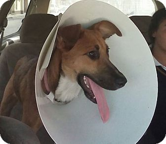 Belgian Malinois/Collie Mix Puppy for adoption in cupertino, California - TRUDY