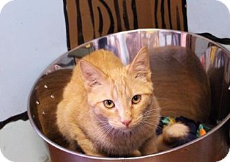 Domestic Shorthair Cat for adoption in West Des Moines, Iowa - Sampson