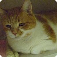 Adopt A Pet :: Little Kitty - Hamburg, NY