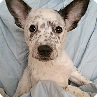 Australian Shepherd Mix Puppy for adoption in Lakewood, Colorado - Tara