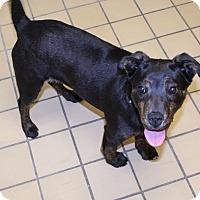 Adopt A Pet :: Stella - Lumberton, NC