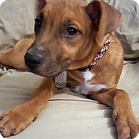 Adopt A Pet :: Buzzy - Surprise, AZ