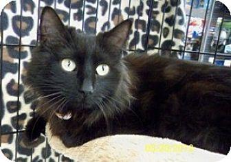 Domestic Mediumhair Cat for adoption in Sacramento, California - Jada B