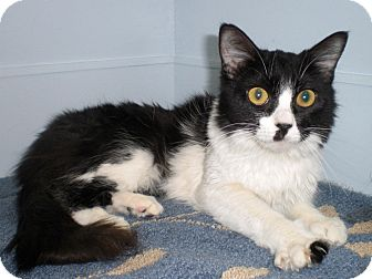 Domestic Longhair Cat for adoption in Scottsdale, Arizona - Gurley- courtesy post