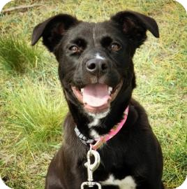 Labrador Retriever Mix Puppy for adoption in Cheyenne, Wyoming - Carly