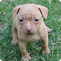 Adopt A Pet :: Copper - La Habra Heights, CA