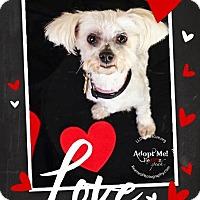 Adopt A Pet :: Little Man - Shawnee Mission, KS