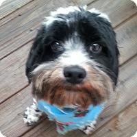 Adopt A Pet :: Chaps - Chapel Hill, NC