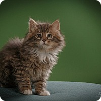 Adopt A Pet :: Rocket - St. Louis, MO