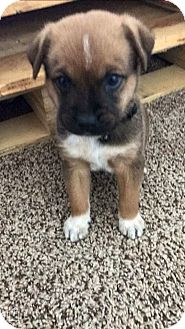 Shepherd (Unknown Type)/Blue Heeler Mix Puppy for adoption in Fair Oaks Ranch, Texas - Monty