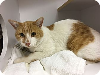 Domestic Mediumhair Cat for adoption in Fountain Hills, Arizona - Tocho