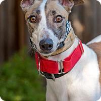 Adopt A Pet :: Roxie - Walnut Creek, CA
