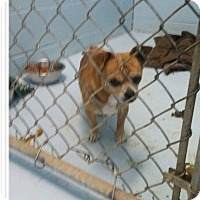 Adopt A Pet :: Tan chihuahua - Mount Pleasant, SC