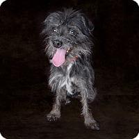 Adopt A Pet :: Wynona - Van Nuys, CA
