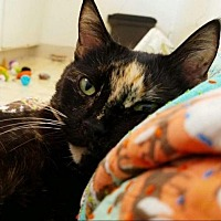 Adopt A Pet :: Calliope (Courtesy Listing) - Santa Ana, CA