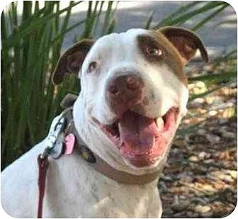 American Bulldog/Pointer Mix Dog for adoption in La Honda, California - Jack