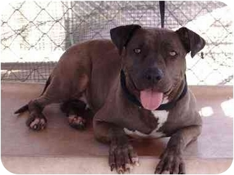 American Pit Bull Terrier/American Pit Bull Terrier Mix Dog for adoption in Bellflower, California - China