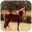 Photo 1 - Saddlebred/Arabian Mix for adoption in Old Fort, North Carolina - Ayden