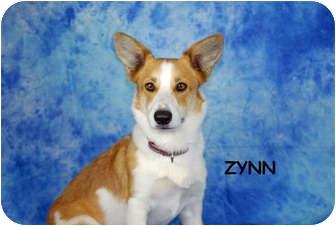 Corgi/Border Collie Mix Dog for adoption in Ft. Myers, Florida - Zynn