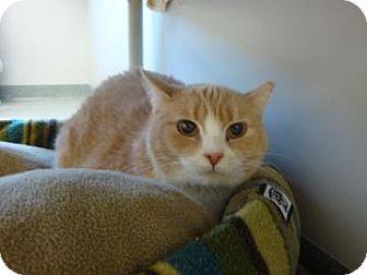 Domestic Shorthair Cat for adoption in Gainesville, Florida - Henrietta
