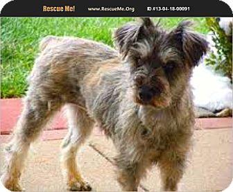 Standard Poodle Mix Dog for adoption in Boulder, Colorado - Aubrey