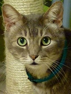 Domestic Mediumhair Cat for adoption in Drippings Springs, Texas - Jake
