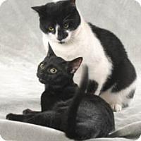 Domestic Shorthair Cat for adoption in Chicago, Illinois - Ninja
