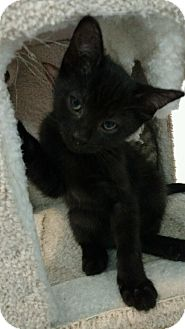 American Shorthair Kitten for adoption in Westland, Michigan - Barney