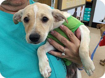 Terrier (Unknown Type, Small) Mix Puppy for adoption in Schertz, Texas - Mickey