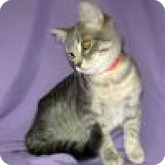 Domestic Shorthair Cat for adoption in Powell, Ohio - Haiden