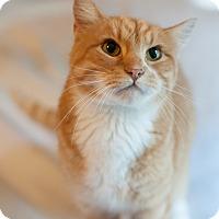 Domestic Shorthair Cat for adoption in Faribault, Minnesota - Cheez Itz
