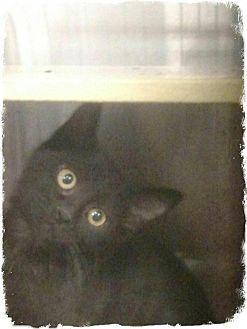 Domestic Shorthair Kitten for adoption in Pueblo West, Colorado - Edda
