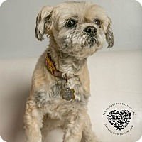 Shih Tzu Mix Dog for adoption in Inglewood, California - Zsa Zsa