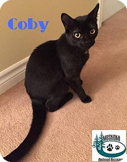Domestic Shorthair Kitten for adoption in Huntsville, Ontario - Coby - Loves to play!