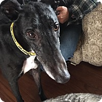 Greyhound Dog for adoption in West Babylon, New York - Sonny