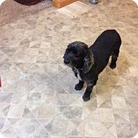 Adopt A Pet :: Blue Bunny - Cedar Rapids, IA