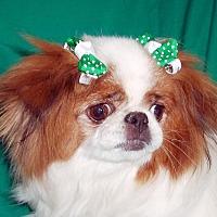 Adopt A Pet :: Precious - Aurora, CO