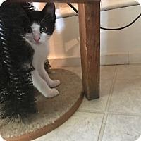 Adopt A Pet :: Brigid - Dalton, GA