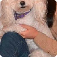 Adopt A Pet :: Fibi - Las Vegas, NV