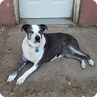 Adopt A Pet :: Stella - Boulder, CO