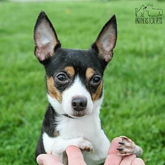 Chihuahua Mix Dog for adoption in Troy, Illinois - Rex (Bonded Pair)