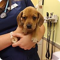 Adopt A Pet :: Puppy Number Four - Kannapolis, NC