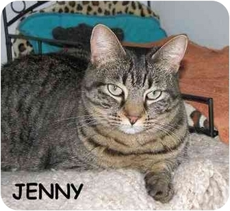 Domestic Shorthair Cat for adoption in AUSTIN, Texas - Jenny
