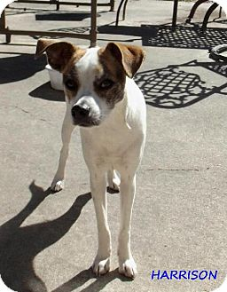 Jack Russell Terrier/Italian Greyhound Mix Dog for adoption in Silsbee, Texas - Harrison