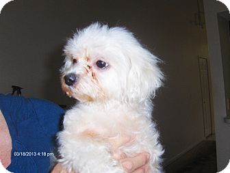 Maltese/Miniature Poodle Mix Dog for adoption in Jacksonville, Florida - Dutchess