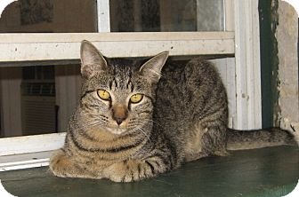 Domestic Shorthair Cat for adoption in Bulverde, Texas - Benny