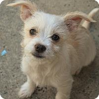 Adopt A Pet :: Terra - Long Beach, CA
