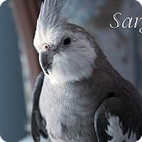 Adopt A Pet :: Sarge - St. Louis, MO