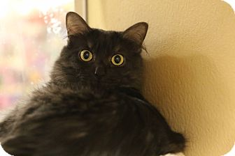 Maine Coon Cat for adoption in Gainesville, Virginia - Essence
