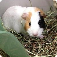 Guinea Pig for adoption in Quilcene, Washington - Doodles